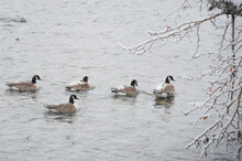 Four Canada Geese Swimming In Frozen Cold Water Of River