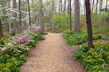 Brightly Colored Spring Flowers Blooming Along A Mulch Walking Path Through The Woods Of Edith J. Carrier Arboretum, James Madison University, Virginia, USA