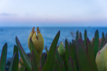 Focused Hottentot-fig Fruit With Mediterranean Sea In The Background At Sunset