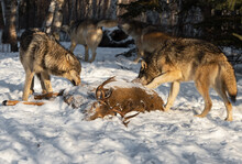 Grey Wolves (Canis Lupus) Around White-Tail Deer Carcass And Running In Background Winter