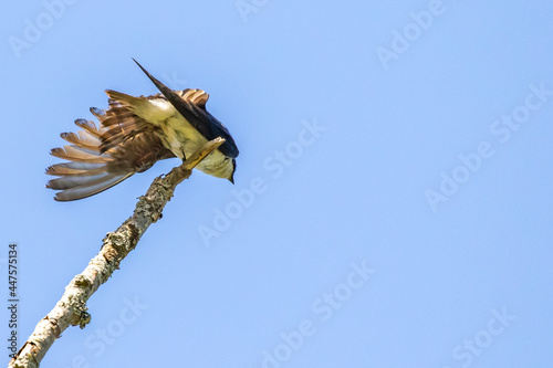 Canvas Print Adult Tree Swallow Stretches Left Side Prior to Flight