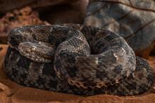 Serpent On The Ground