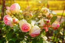 Large Bicolor Light Peach Roses Like Peonies With Double Frill On A Background Of Leaves On A Bush. Double Frill, Two-tone Soft, Light Pink Rose And Green Foliage On The Bush