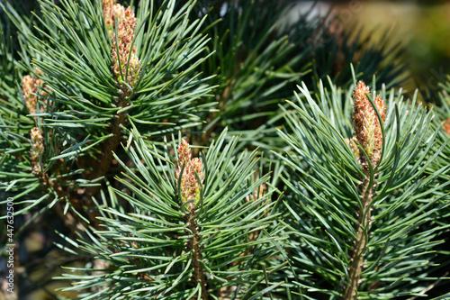 Fotografering Scots pine Chantry Blue