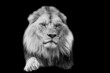 A lion with a black background