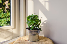 Green Fresh Basil Plant In A Metal Flower Pot Standing On A Small Stool Next To Open Window On A Blurred Green Trees Background. Culinary Herb. Italian Food Ingredient. Healthy Eating.