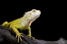 Close-up Of An Albino Iguana On A Branch, Indonesia
