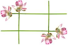Cadre De Lotus Rose