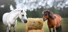 Two Ponies Eating Hay Outdoors At A Farm