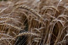 An Ear Of Wheat Standing In A Field Bends From The Wind