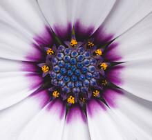 Close Up Of The Center Of An Osteospermum African Daisy.
