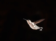 Close Up Of A Hummingbird In Flight Against A Black Background.