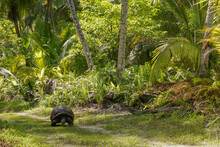 A Giant Tortoise Strolls Through The Forest Of Desroches Island, Seychelles.