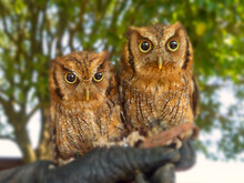 Portrait Of Two Owls Sitting Side By Side On A Branch, Italy