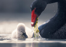 Black Swan And Her Cygnet Feeding On Green Algae, Australia
