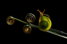 Close-up Of A Snail On A Spiral Tendril On A Plant, Indonesia