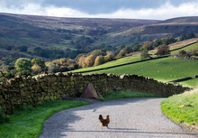 A Chicken Crossing The Road With A View Of Hills In North Yorkshire