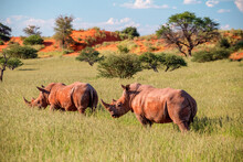 Two White Rhino (Ceratotherium Simum) Walking In Kalahari Bush, Namibia.