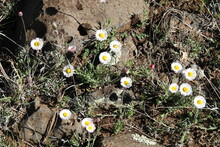 Daisy Fleabane Wildflowers, Erigeron Divergens, Growing On The Mogollon Rim, In The Coconino National Forest, Arizona.