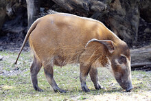 Red River Hog, Potamochoerus Porcus, Looking For Food On The Ground
