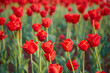 A close view of a large number of blooming red tulips. Beautiful bokeh in the background.