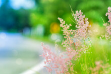 Pink Grass Flowers (Melinis Repens (Willd.) Zizka) On Blurred Background