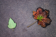 Two Leaves Of A Tree On An Asphalt Road. One Fresh Green And A Small One. The Second Brown Is Old And Rotting. Age Concept. Youth And Old Age. Copy Space.