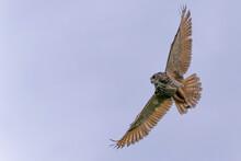 Eurasian Eagle-Owl (Bubo Bubo) Flying In The Meadows In Gelderland  In The Netherlands