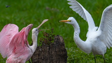 Roseate Spoonbill And Great Egret Having Turf Wars On The Pond
