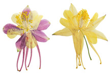 Pressed And Dried Lilac, Yellow Flowers Aquilegia Vulgaris. Isolated On White Background. For Use In Scrapbooking, Pressed Floristry Or Herbarium.
