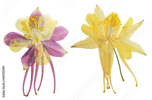 Obraz na plátně Pressed and dried lilac, yellow flowers aquilegia vulgaris