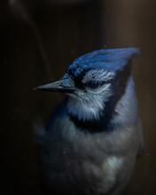 Curious Blue Jay