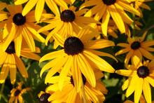 Field Of Black-eyed Susan Flowers