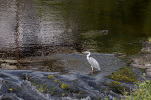 Grey Heron (Ardea Cinerea) In Shallow Water At Llangollen