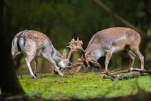 Fallow Deer, Two Bucks Fighting During Rutting Season