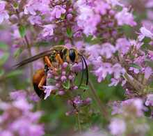 A Closeup Of A Great Digger Wasp ( ) On Pink Wild Thyme Flowers In July In Muskoka