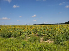 Gorgeous Bright Field Under A Pale Blue Sky On A Sunny Day With Tall Sunflowers In Thick Bushes
