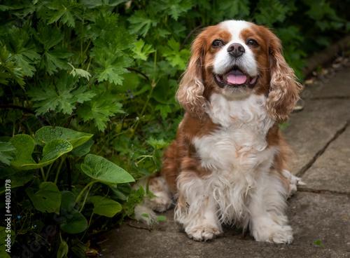 Fotografering King Charles spaniel sat in garden