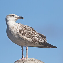 Great Black-backed Gull (Larus Marinus), A First Winter In Newlyn Harbour, Cornwall, UK.