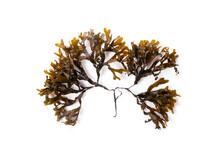 Fucus Seaweed Isolated On White Background. Baltic Sea. Latvia,