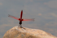 The Needle Dragonfly Can Be Seen Often In Thailand. They Like To Perch On Rocks In Streams.