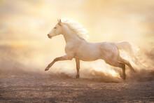 White Arabian Horse With Long Mane Free Run In Sunlight In Sandy Dust