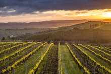 Vineyard In Foggy Hills