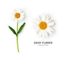 Daisy Flowers, White Marguerite Creative Layout