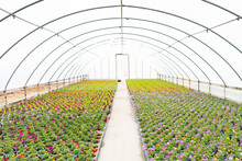 Greenhouse With Colorful Potted Flowers And Plants In Spring