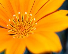 African Daisy Close-up