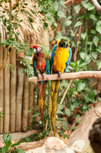 Pair Of Yellow, Blue, Red And Green Colored Parrots Perched On A Tree Branch, One Looking To The Front And The Other To The Side