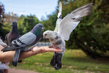 Pigeons Eat With Their Hands In St. Petersburg