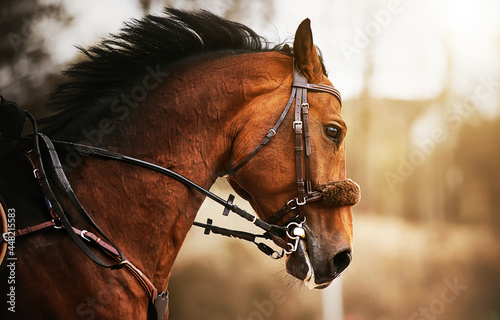 A portrait of a beautiful bay horse with a dark mane and a bridle on its muzzle, which jumps quickly on a sunny autumn day Fototapet