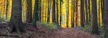 A Footpath Through The Golden Beech Trees With Large Roots. Forest Floor Of Green, Orange And Yellow Leaves. Mysterious Light Through The Tree Trunks. Environmental Conservation In Heidelberg, Germany